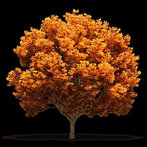 albero dal quale si ricava il parquet acero