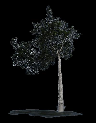 albero dal quale si ricava il parquet afrormosia