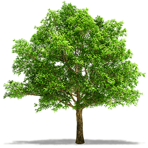 albero di wenge per la realizzazione di parquet