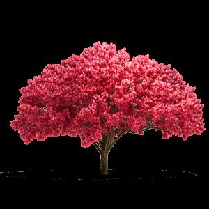 parquet ciliegio