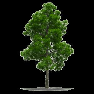 albero di faggio per la realizzazione di parquet