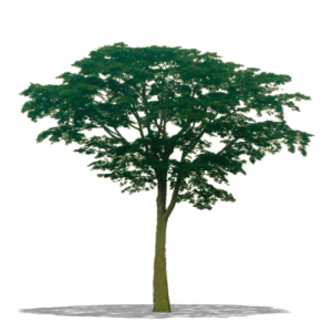 albero dal quale si ricava il parquet iroko