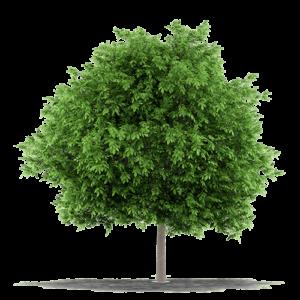 albero dal quale si ricava il parquet noce