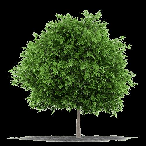 albero dal quale si ricava il parquet in noce