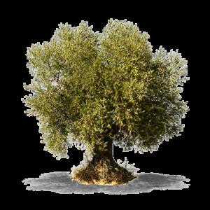 albero dal quale si ricava il parquet olivo