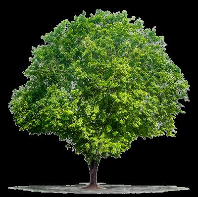 albero dal quale si ricava il parquet padouk