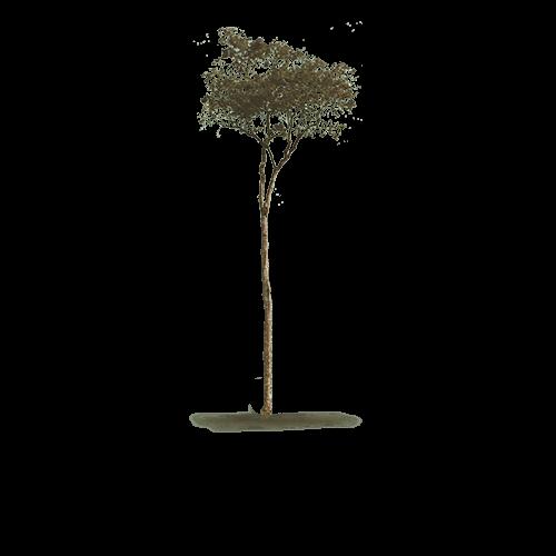 albero dal quale si ricava il parquet cabreuva