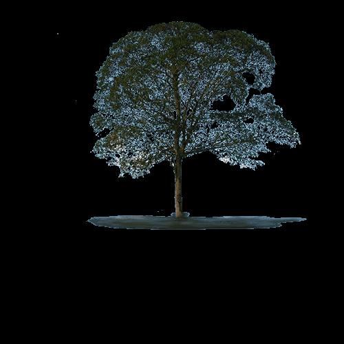 albero dal quale si ricava il parquet cumarù
