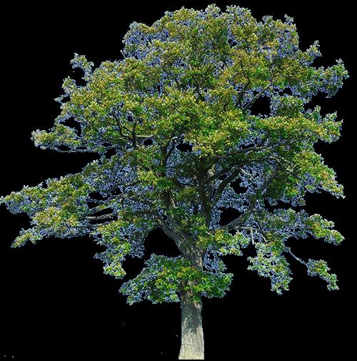 albero dal quale si ricava il parquet rovere